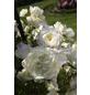 KORDES ROSEN Kletterrose Rosa  »Alaska®«-Thumbnail