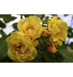 KORDES ROSEN Kletterrose Rosa  »Golden Gate®«-Thumbnail