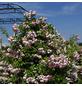 KORDES ROSEN Kletterrose Rosa  »Jasmina®«-Thumbnail