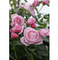 KORDES ROSEN Kletterrose Rosa  »Kiss me Kate®«-Thumbnail