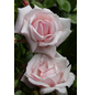 Kletterrose Rosa »New Dawn«-Thumbnail