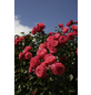 KORDES ROSEN Kletterrose Rosa  »Rosanna®«-Thumbnail