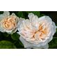 Kletterrose Rosa »Uetersener Klosterrose®«-Thumbnail