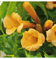 GARTENKRONE Klettertrompete, Campsis radicans »Flava«, gelb, winterhart-Thumbnail