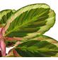 GARTENKRONE Korbmarante Calathea hybrid »Sorten-Mix«-Thumbnail