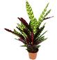 Korbmarante Calathea lancifolia-Thumbnail