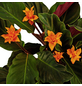 GARTENKRONE Korbmaranthe, Calathea crocata, Blüte: orange-Thumbnail