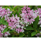 Koreanischer Flieder, Syringa patula »Miss Kim«, Blütenfarbe rosa-Thumbnail