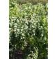 Korkenzieher-Scheinakazie, Robinia pseudoacacia »Twisty Baby«, Blütenfarbe weiß-Thumbnail