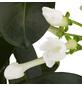 GARTENKRONE Kranzschlinge, Stephanotis floribunda, Blüte: weiß-Thumbnail