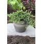 Kriech-Wacholder communis Juniperus »Repanda«-Thumbnail