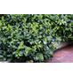 GARTENKRONE Kriechspindel, Euonymus fortunei »Coloratus«, weiß, winterhart-Thumbnail