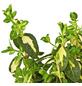 GARTENKRONE Kriechspindel Euonymus fortunei »Sunspot«-Thumbnail