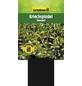 GARTENKRONE Kriechspindel, Euonymus fortunei »Sunspot«, weiß, winterhart-Thumbnail