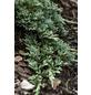 GARTENKRONE Kriechwacholder horizontalis Juniperus »Glauca«-Thumbnail