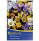 KIEPENKERL Krokuss chrysanthus Crocus-Thumbnail