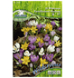 PEGASUS Krokuss chrysanthus Crocus-Thumbnail