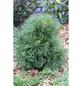 Kugel-Kiefer mugo Pinus »Varella«-Thumbnail