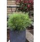 Kugel-Kiefer nigra Pinus »Marie Bregeon«-Thumbnail