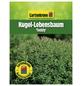 GARTENKRONE Kugel-Lebensbaum, Thuja occidentalis »Teddy«, winterhart-Thumbnail