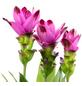 Kurkuma, Curcuma longa, Blütenfarbe: violett-Thumbnail