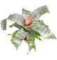 GARTENKRONE Lanzenrosette »Aechmea Fasciata«, Rosa/pink-Thumbnail