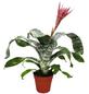 Lanzenrosette, Aechmea fasciculata, Blüte: rosa/pink-Thumbnail