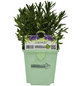 GREENBAR Lavendel 3er Set, Blütenfarbe: blau-Thumbnail