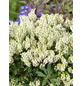 Lavendelheide, Pieris japonica »Cupido«, weiß, Höhe: 40 - 50 cm-Thumbnail