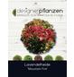 Lavendelheide, Pieris japonica »Mountain Fire«, weiß, Höhe: 40 - 50 cm-Thumbnail