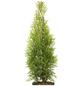 Lebensbaum 100 Stück, Thuja occidentalis »Smaragd«, Lieferhöhe: 80 - 100 cm-Thumbnail