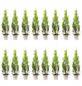 Lebensbaum 16 Stück, Thuja occidentalis »Smaragd«, Lieferhöhe: 20 - 30 cm-Thumbnail