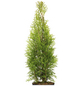 Lebensbaum 200 Stück, Thuja occidentalis »Smaragd«, Lieferhöhe: 80 - 100 cm-Thumbnail