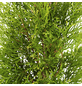 Lebensbaum 375 Stück, Thuja occidentalis »Smaragd«, Lieferhöhe: 40 - 60 cm-Thumbnail