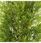 Lebensbaum 400 Stück, Thuja occidentalis »Smaragd«, Lieferhöhe: 60 - 80 cm-Thumbnail