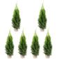 Lebensbaum 6 Stück, Thuja occidentalis »Smaragd«, Lieferhöhe: 40 - 60 cm-Thumbnail