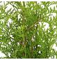 Lebensbaum 90 Stück, Thuja occidentalis »Brabant«, Lieferhöhe: 125 - 150 cm-Thumbnail