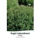 Lebensbaum occidentalis Thuja »Teddy«-Thumbnail