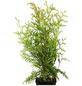 GARTENKRONE Lebensbaum Thuja occidentalis »Brabant«-Thumbnail