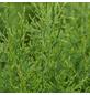 GARTENKRONE Lebensbaum, Thuja occidentalis »Brabant«, winterhart-Thumbnail