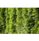 GARTENKRONE Lebensbaum Thuja occidentalis »Smaragd«-Thumbnail