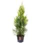 Lebensbaum, Thuja occidentalis »Smaragd«, Lieferhöhe: 60 - 80 cm-Thumbnail