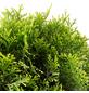 Lebensbaum, Thuja occidentalis »Smaragd«, Lieferhöhe: 75 - 95 cm-Thumbnail