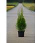 Lebensbaum, Thuja Occidentalis smaragd, Lieferhöhe: 80 - 100 cm-Thumbnail