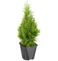 GARTENKRONE Lebensbaum, Thuja occidentalis »Smaragd«, winterhart-Thumbnail