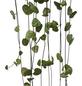 Leuchterblume Blattfarbe: grün-Thumbnail