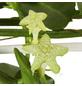 GARTENKRONE Leuchterblume, Ceropegia sandersonii, Blüte: weiß-Thumbnail