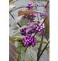 Liebesperlenstrauch, Callicarpa bodinieri »Profusion«, Blütenfarbe pink-Thumbnail