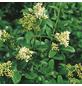 GARTENKRONE Liguster Ligustrum vulgare »Atrovirens Select«-Thumbnail