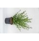 GARTENKRONE Liguster, Ligustrum vulgare »Atrovirens Select«, weiß, winterhart-Thumbnail